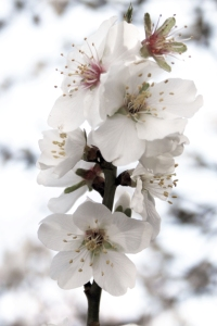 almondblossom_edited-2